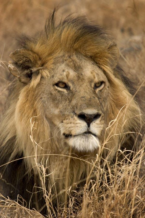 Wildes Tier in Afrika, serengeti Nationalpark lizenzfreie stockfotos