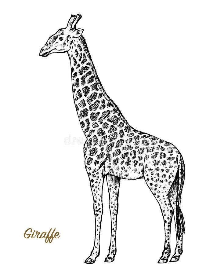 Wildes Tier der afrikanischen Giraffe auf weißem Hintergrund Gravierte Hand gezeichnete Linie alte einfarbige Skizze Kunst Weinle stock abbildung