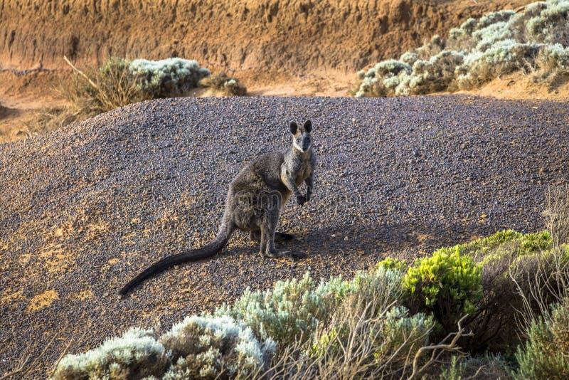 Wildes Wallaby an der Seeküste von Victoria Australia Great Ocean Road und Umgebungsseeozeane und -klippe stockfotografie