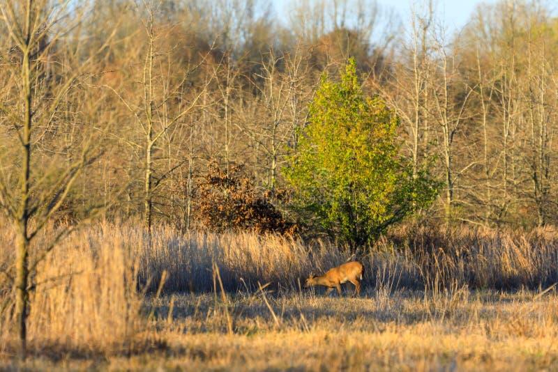 Wildes Weiß band Rotwild innerhalb des Managementbereichs der wild lebenden Tiere im kahlen Griff, Arkansas an lizenzfreie stockfotografie