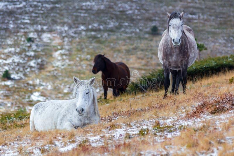 Wildes weißes Mustangpferd, stehend auf einem schneebedeckten Gebiet still stockbilder