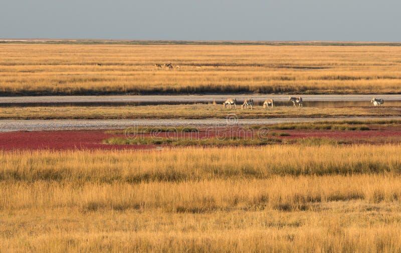 Wildesel und eine Herde von Rotwild und von Damhirschen lassen in der Steppe bei Sonnenuntergang weiden stockfoto