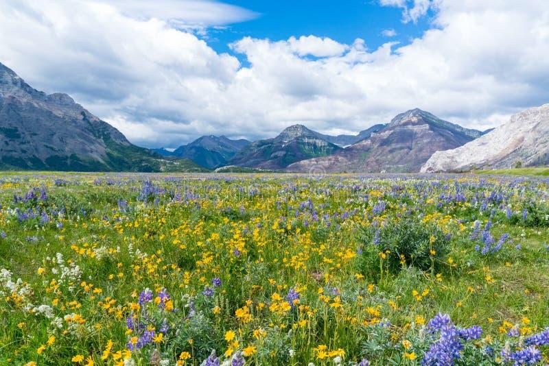 Wildflower łąka w Waterton jeziorach parki narodowi, Kanada zdjęcie stock