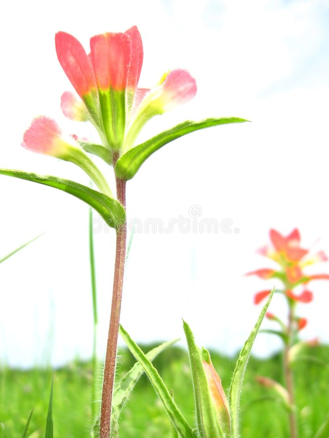 wildflower αναρωτηθείτε στοκ εικόνα