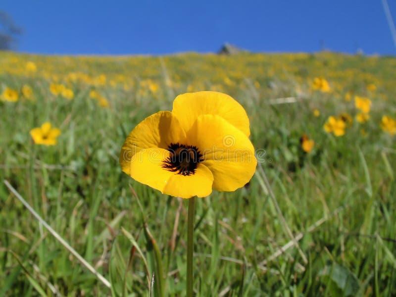 wildflower κίτρινος στοκ φωτογραφίες με δικαίωμα ελεύθερης χρήσης