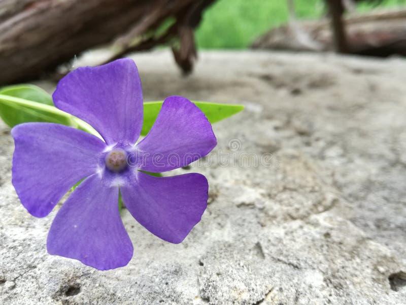 Wildflower барвинка барвинка небольшой против каменной предпосылки стоковая фотография rf