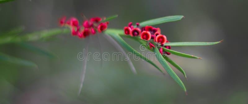 Wildflower в западной Австралии стоковые изображения rf