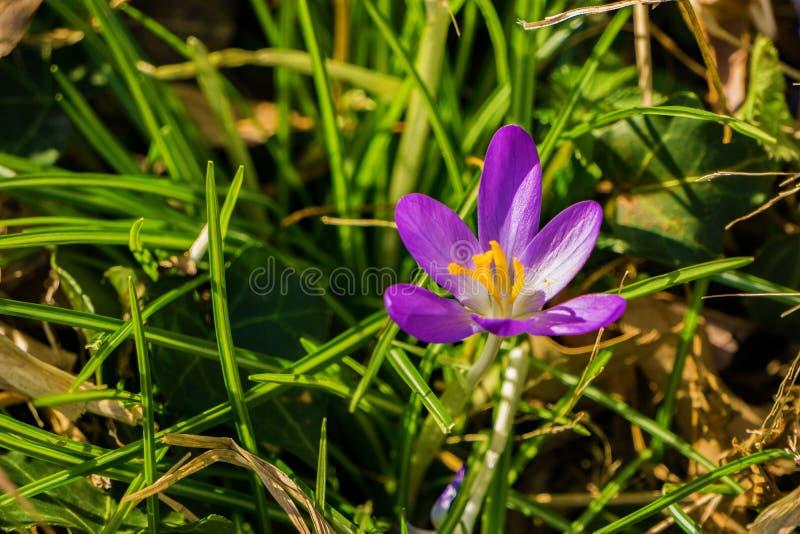 Wildflower крокусов - первый цветок весны стоковая фотография rf