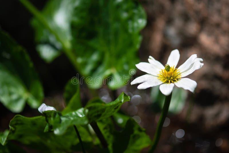 Wildflower ноготк месива стоковые изображения