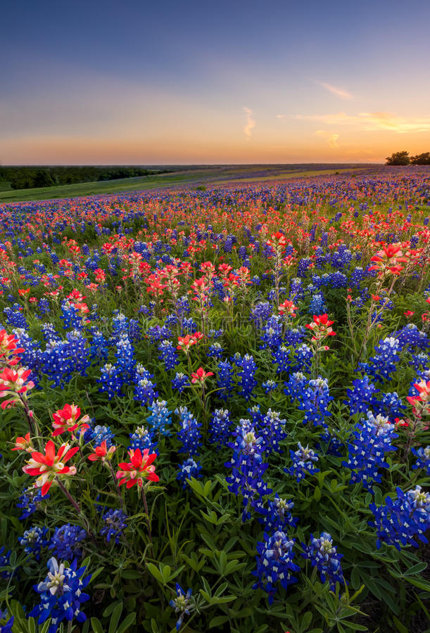 Wildflower Техаса - bluebonnet и индийский paintbrush field в заходе солнца стоковое изображение