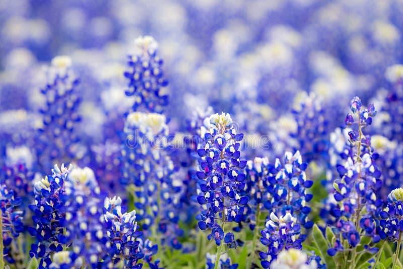 Wildflower Техаса - bluebonnets крупного плана весной стоковое изображение