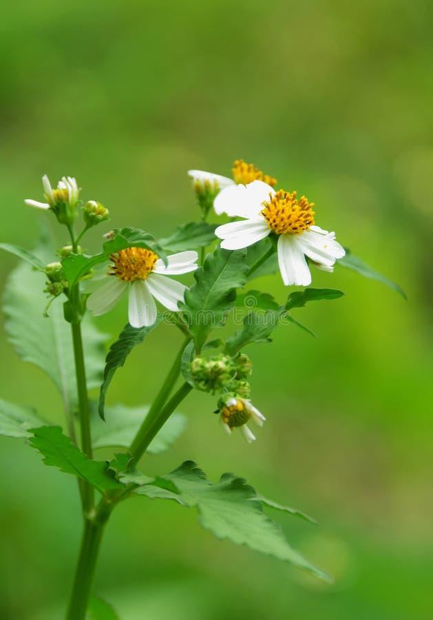 wildflower photo libre de droits