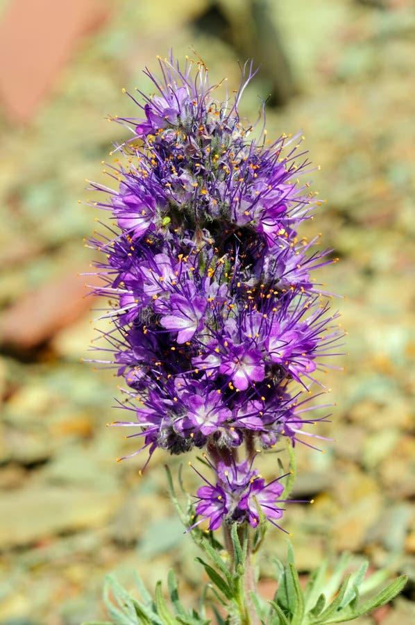 Wildflower alpino nella tundra immagini stock libere da diritti