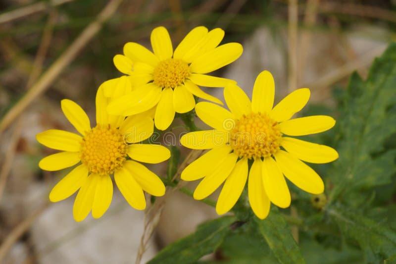Wildflower amarelo foto de stock