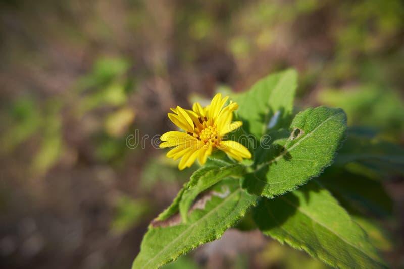 Wildflower amarelo 1 do close-up de 2 imagens de stock