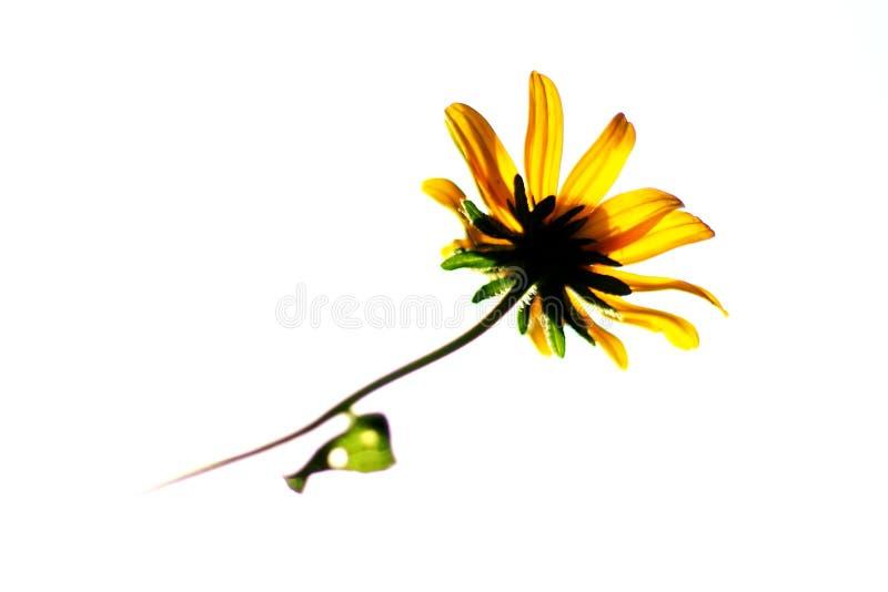 Wildflower amarelo do daisey fotos de stock