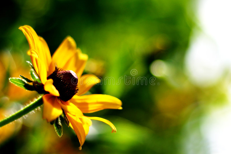 Wildflower amarillo Sunlit fotos de archivo