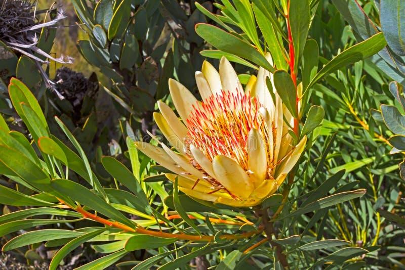 Wildflower amarillo y rosado del Protea imagenes de archivo