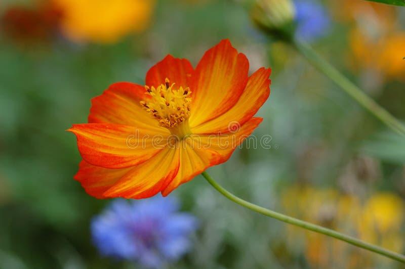 Wildflower anaranjado foto de archivo libre de regalías