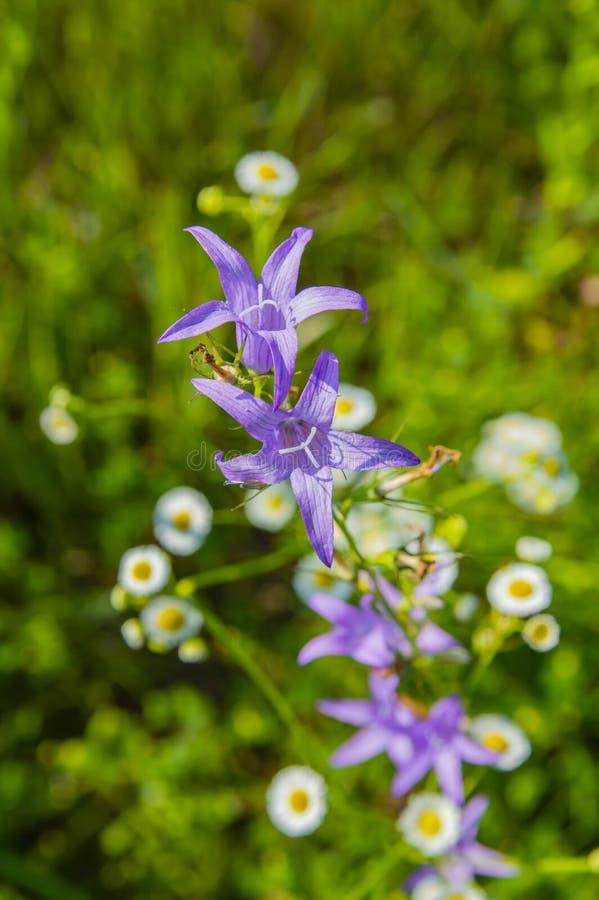 Wildflower azul en el fondo blanco de la manzanilla fotografía de archivo