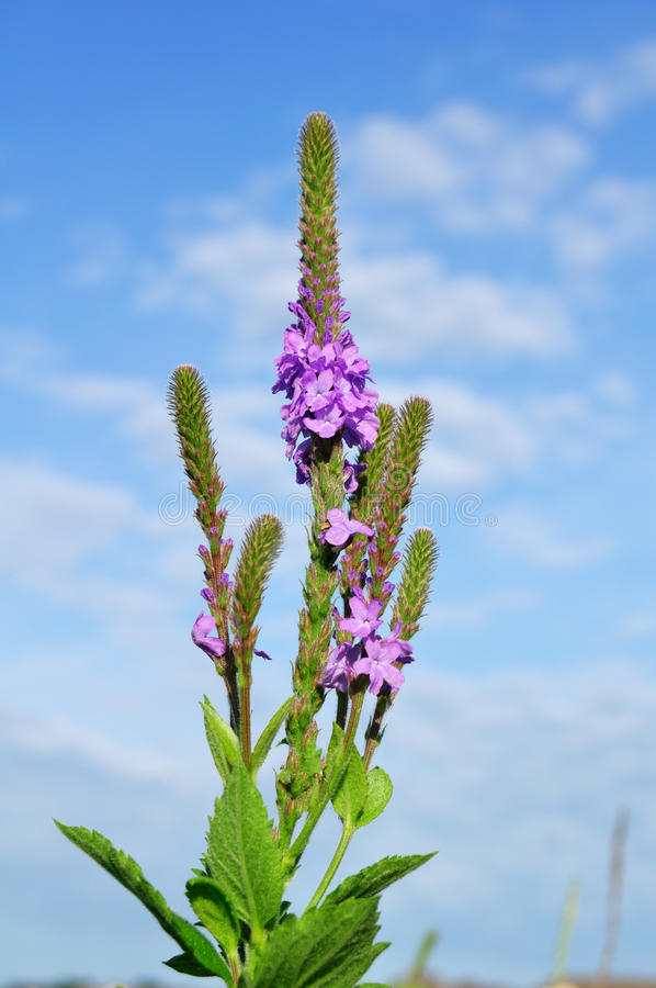 wildflower blanchi de vervain de verveine de stricta photos stock