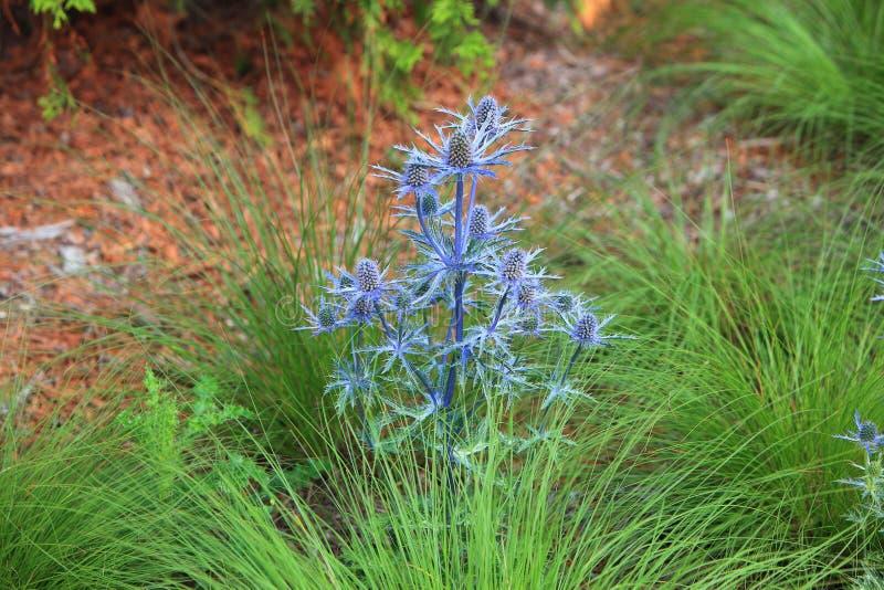 Wildflower bleu d'Eryngium photos stock