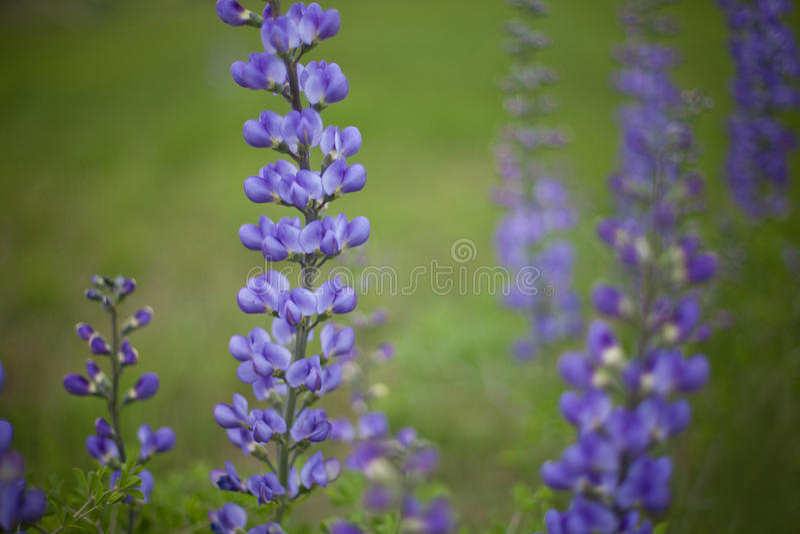 Wildflower blu dei cofani immagine stock libera da diritti