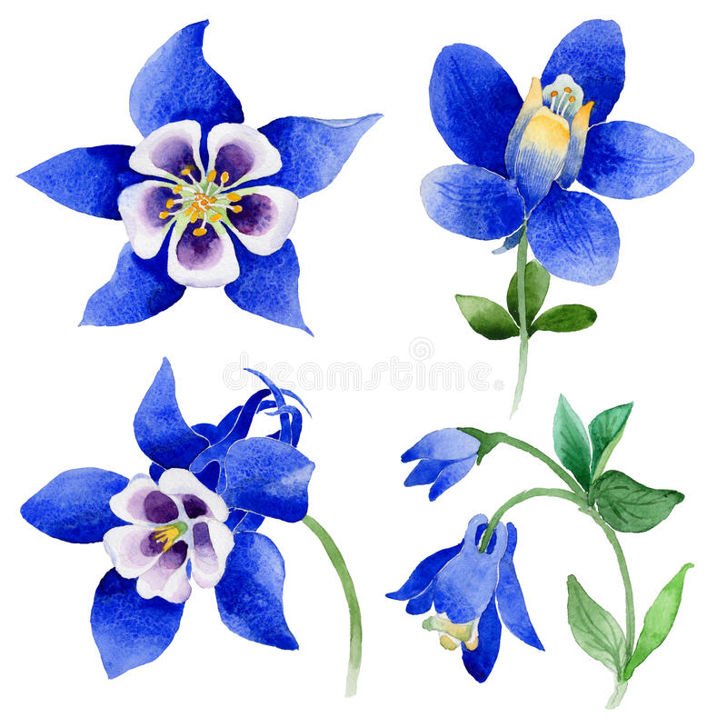 Wildflower Blue aquilegia flower in a watercolor style isolated. Aquarelle wild flower for background, texture, wrapper pattern, frame or border royalty free illustration