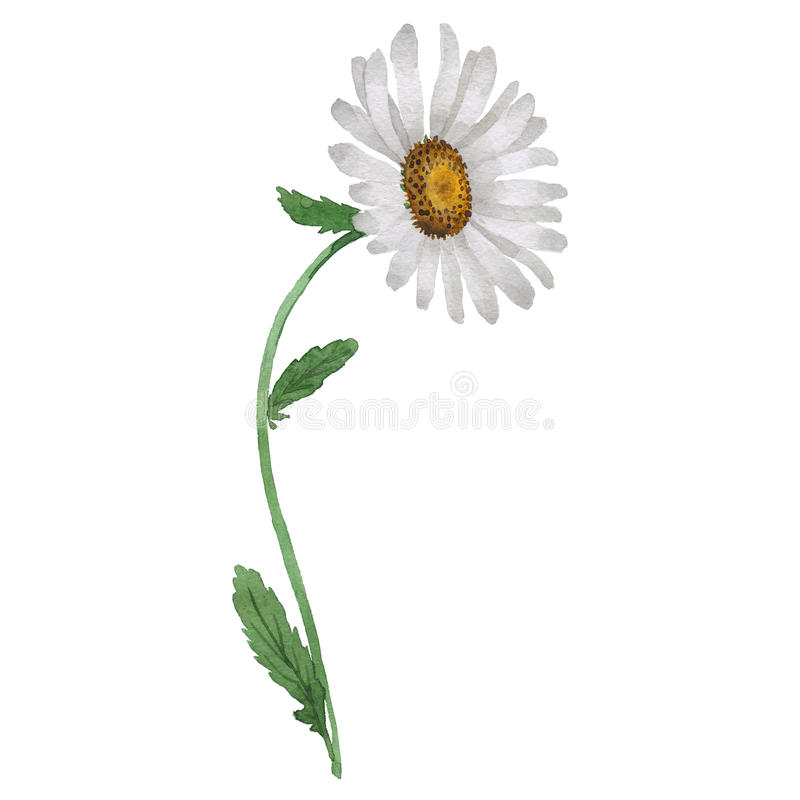 Wildflower chamomile flower in a watercolor style isolated. Full name of the plant: white chamomile. Aquarelle wild flower for background, texture, wrapper royalty free illustration