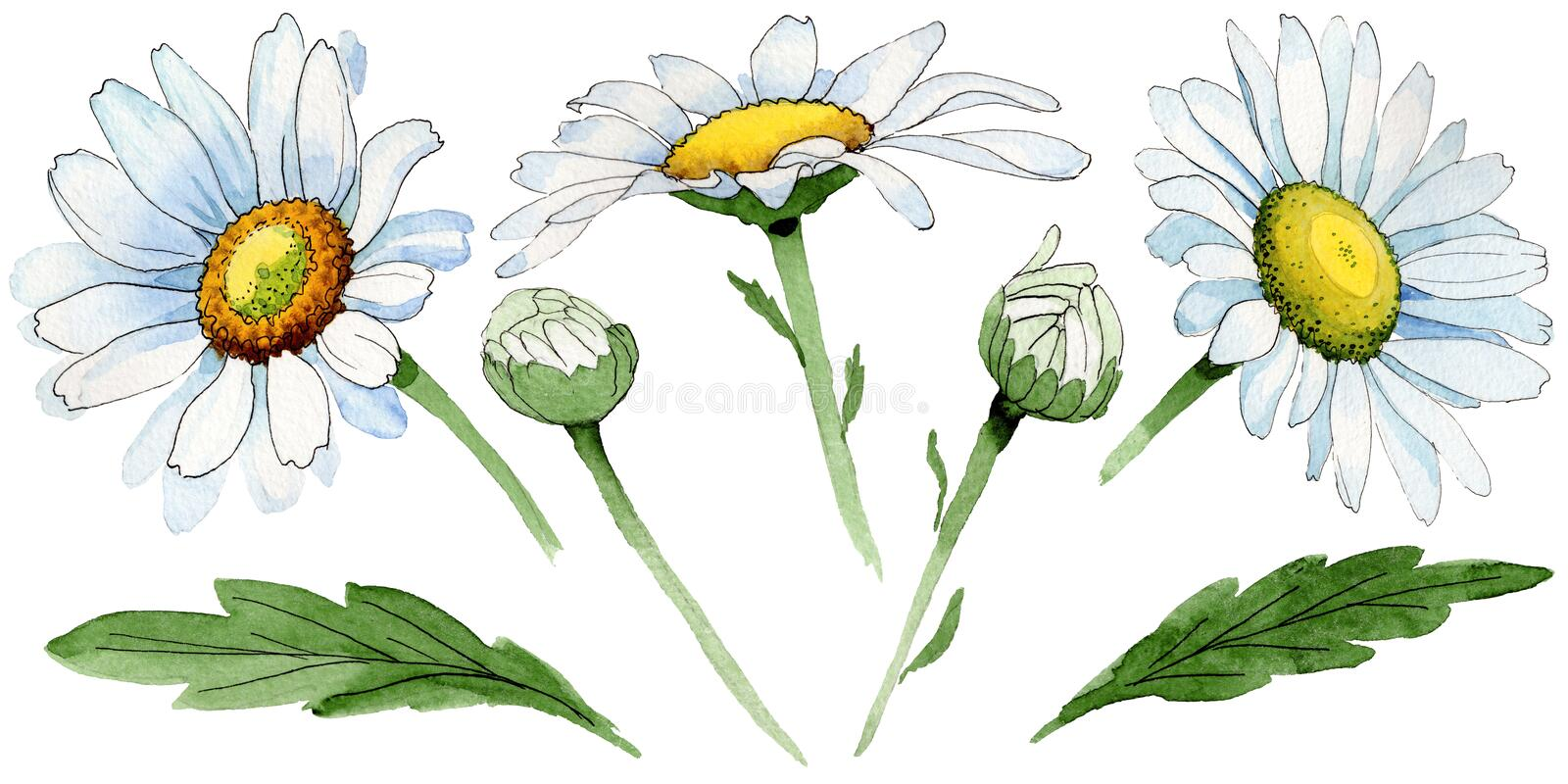 Wildflower chamomile flower in a watercolor style isolated. Full name of the plant: chamomile. Aquarelle wild flower for background, texture, wrapper pattern stock illustration