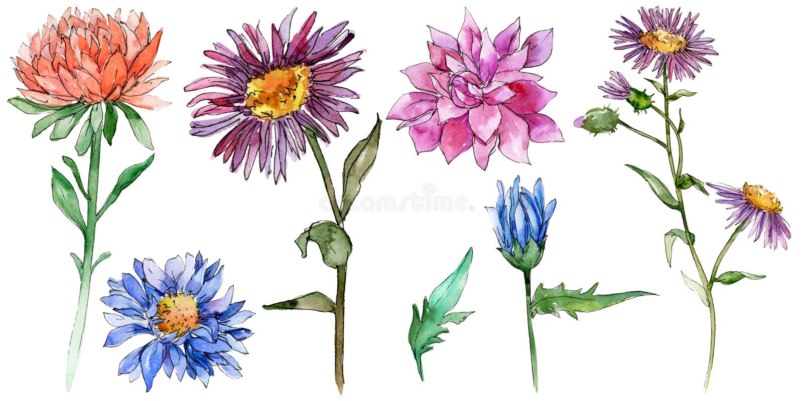 Wildflower chrysantemum flower in a watercolor style isolated. vector illustration
