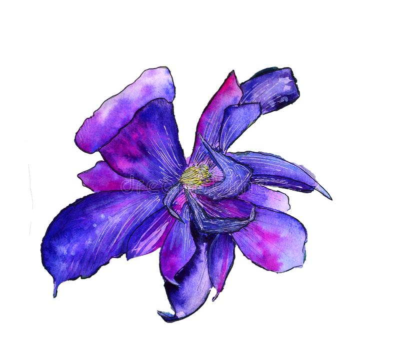 Wildflower clematis flower in a watercolor style isolated stock illustration