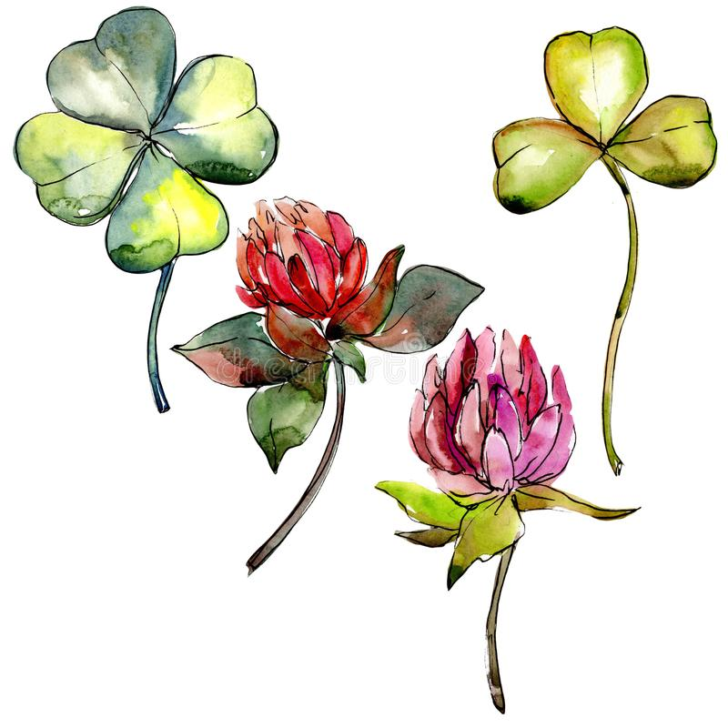 Wildflower clover flower in a watercolor style isolated. royalty free illustration