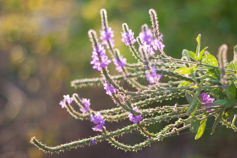 Wildflower con i capelli bianchi retroilluminato di Vervain fotografie stock libere da diritti