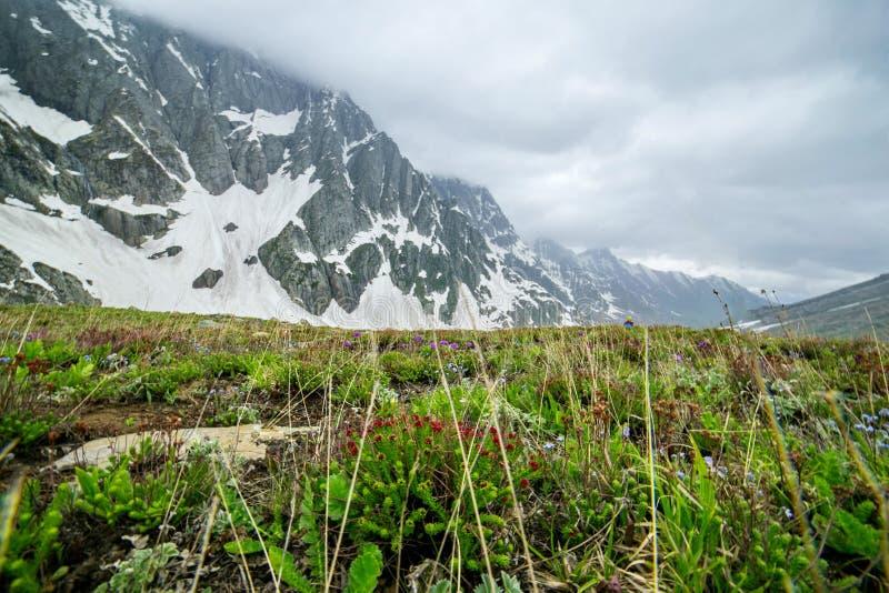 Wildflower con la montagna della neve fotografia stock