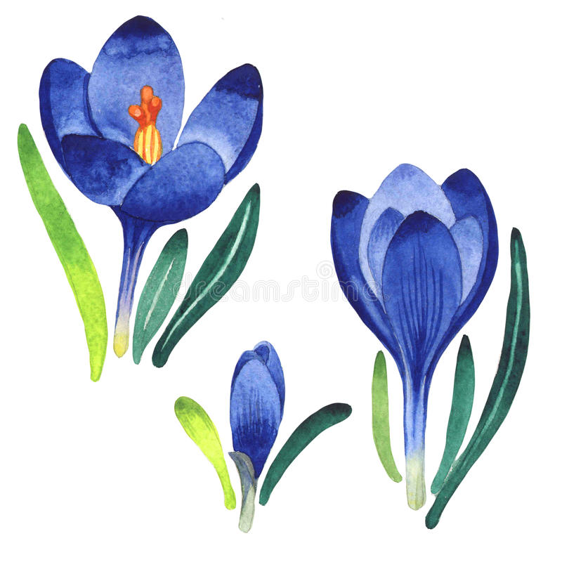 Wildflower crocuses flower in a watercolor style isolated. Full name of the plant: crocuses,saffron. Aquarelle wild flower for background, texture, wrapper stock illustration