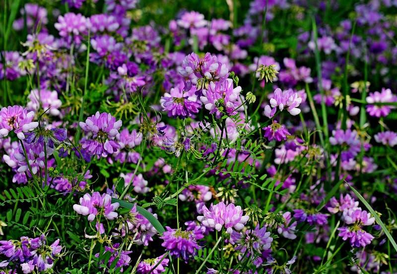 Wildflower - Crownvetch- Coronilla varia w Środkowym Wisconsin, usa zdjęcia stock