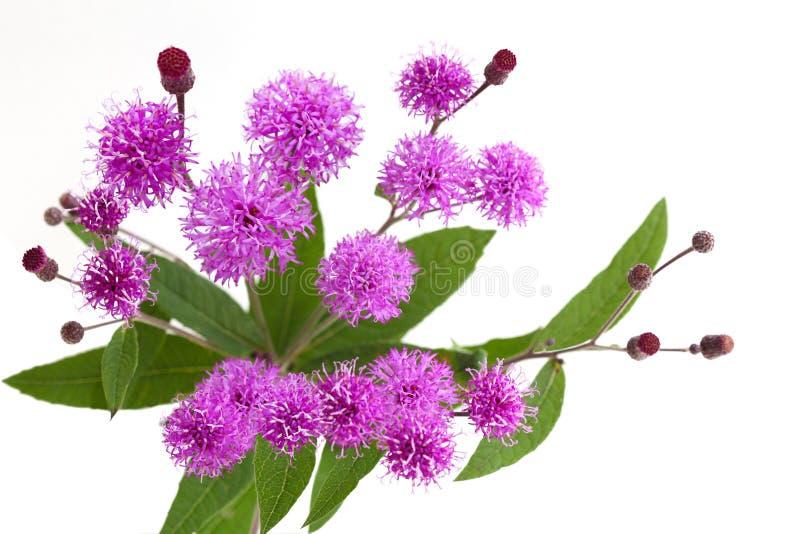 Wildflower d'herbe de Saint-Jacques photos libres de droits