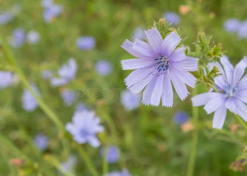 Wildflower da chicória com foco seletivo imagens de stock