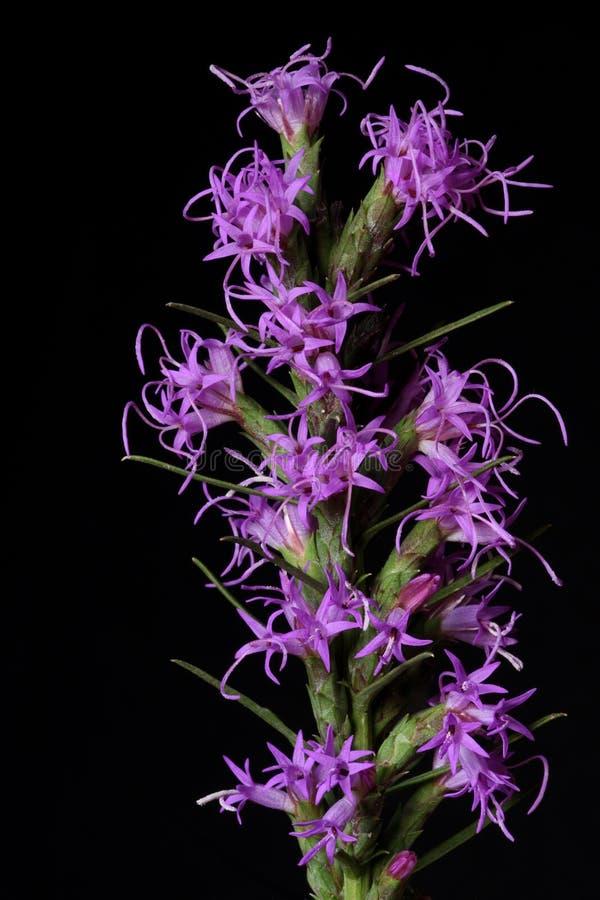 Wildflower da estrela de ardência imagens de stock
