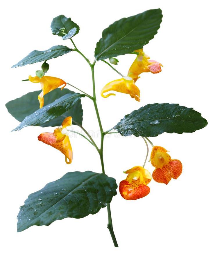 Wildflower de capensis d'Impatiens photos stock