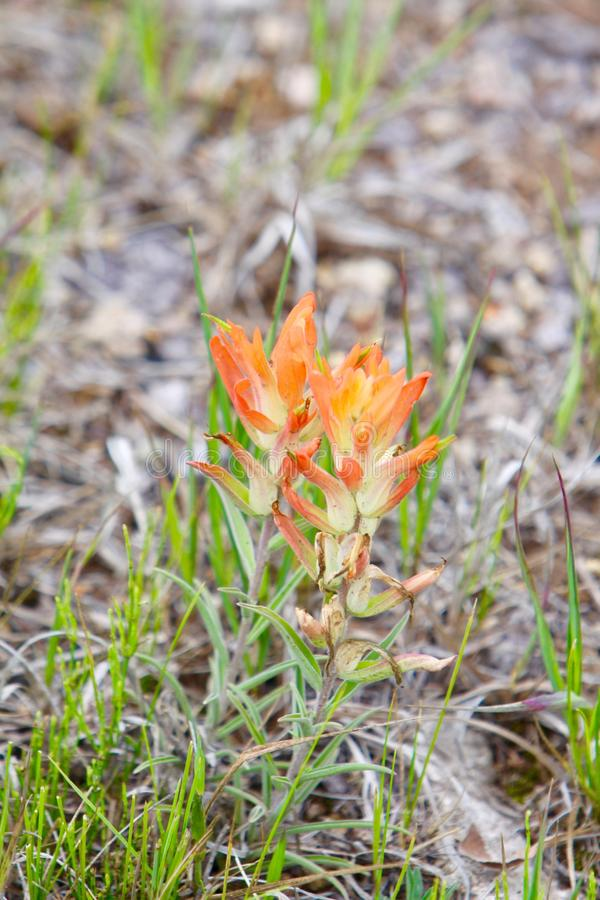 Wildflower de Colorado foto de archivo libre de regalías