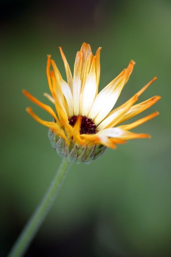Wildflower de jardin photo libre de droits