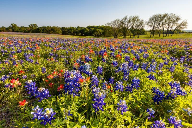 Wildflower de Texas - bluebonnet e pincel indiano arquivados foto de stock