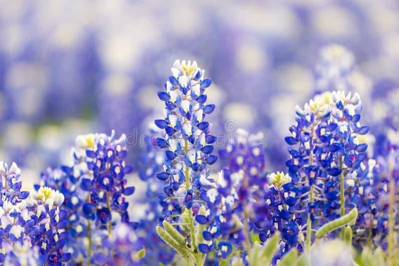 Wildflower de Texas - bluebonnets do close up na mola fotografia de stock