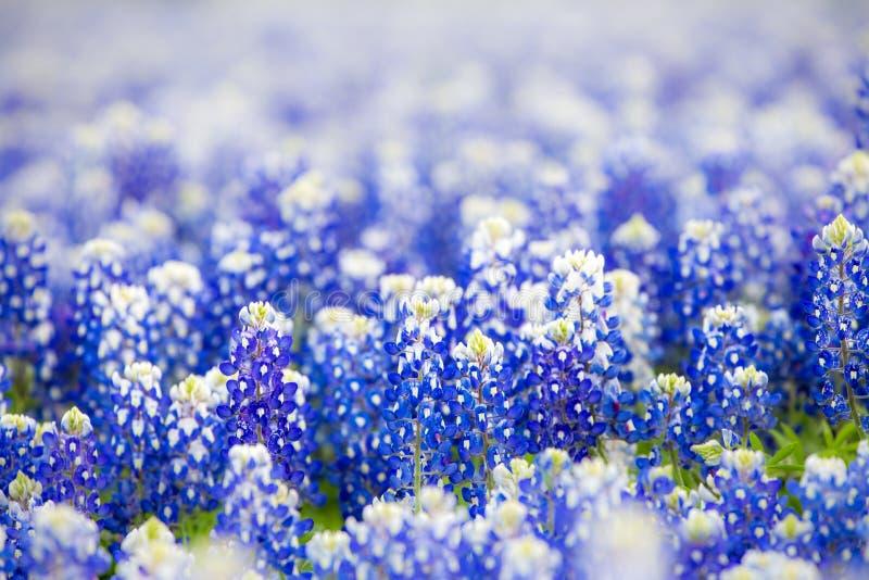 Wildflower de Texas - bluebonnets do close up na mola fotografia de stock royalty free