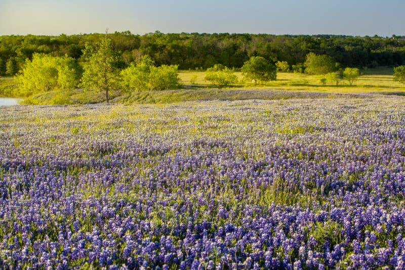 Wildflower de Texas - o bluebonnet arquivou em Ennis, Texas imagem de stock