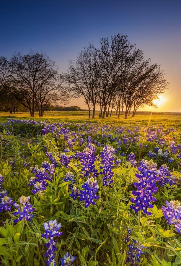 Wildflower de Texas - o bluebonnet ou o lupine arquivaram no por do sol imagem de stock
