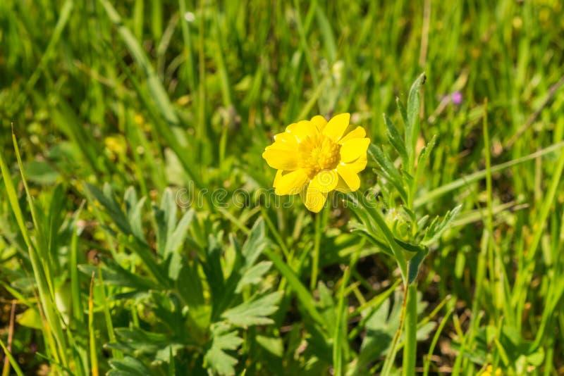 Wildflower del californicus del ranúnculo del ranúnculo de California en un prado imagenes de archivo
