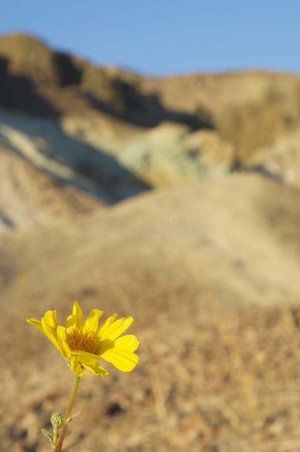 Wildflower del Death Valley immagine stock libera da diritti